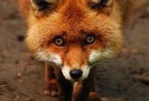 What Does the Fox Say? / by Melissa Pynn