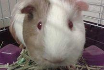 Guinea pig / Guinea pig