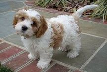 Cavachons / Cavachons are a hybrid mix of the Cavalier King Charles Spaniel and the Bichon Frise. They are also THE best dogs in the entire world.