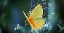 Πεταλούδα_Butterfly