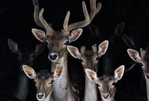 antlers / need to stay on the stag / deer love