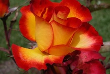 Flowers I Love / by Rose La Pira @ RE/MAX Fortune Properties