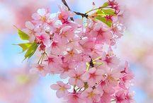 Cherry Blossom / A homage to sakura.