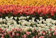 Tulip Tuesday! / by Faith
