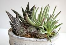 Succulents, Cactus in Pots / In just the perfect pot... / by Rita Tangueray