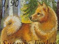 Finnish Spitz / Suomenpystykorva / Hunting Dog
