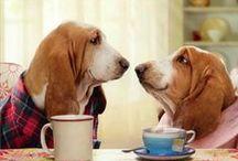 """Basset Hound (Hush Puppies) / Popularmente conocido como """"Batata"""", el perro de raza basset hound es un perro sumamente tranquilo."""