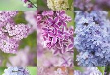 Lilacs, A slice of heaven! / Syringa (Lilac) is a genus of 12 currently recognized species of flowering woody plants in the olive family (Oleaceae), native to woodland and scrub from southeastern Europe to eastern Asia, and widely and commonly cultivated in temperate areas elsewhere.They have a stunning fragrance too.