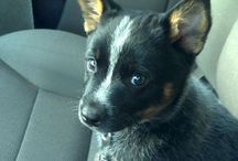 Heelers.Huskies•Amer/Bulldogs.Frenchies / DOGS~ wave 2...another four of my fave dog breeds / by Nancy Alane Eikenberry