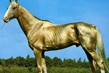 Akhal Teke Horse/Turkmenistan