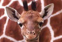Giraffes   Spirit Animal.
