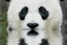 Panda's / by Shirley Taylor