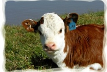 Our Hereford Calves. / Our Hereford Cows have started to calve for the first time.