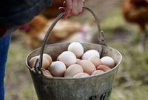 Backyard Chickens & Ducks / backyard chickens, chickens, poultry, homesteading, livestock, ducks, farm life
