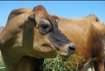 Cows and Dairy / cows, family milk cow, milking, dairy, cheesemaking, dairy farm, homesteading, farm life