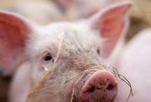 Raising Pigs / raising pigs, pigs, pastured pigs, livestock, homesteading, farm life