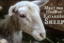 Raising Sheep / sheep, meat sheep, pastured sheep, lamb, lambing, shearing, farm life, homesteading