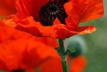 use for poppy wall