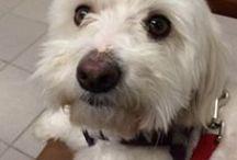 Havanese Rescue Dogs