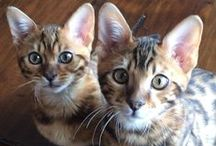 I LoVe Bengals / All about Bengals. / by Sun And Moon Craft Kits