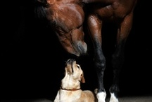 All About Labs & Horses ♥ / by ♥Princess♥ ♥