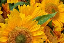 Sunflowers / by Julie Chapin
