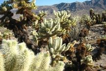 Joshua Tree  / Joshua Tree protects over 1,200 square miles northeast of Palm Springs. The park contains a meeting of the higher Mojave Desert to the west and the lower Colorado Desert to the east. The result is a diverse mixture of vegetation that includes the park's namesake tree.