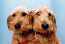 Dachshunds-The Look