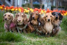 Dachshunds-Friends and Family