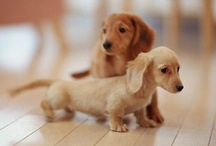 Dachshunds-Puppies