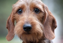 Dachshunds-Wirehair