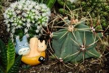 Cactus i crasses
