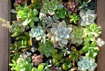 Cacti, Succulents