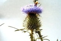 Consider the Thistle / http://www.thistlefarms.org/index.php/....http://www.thistlefarms.blogspot.com/ / by Thistle Farms