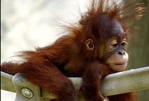 Apes & Monkeyes