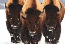 Buffalos & Bison