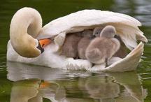 Ducks, Swans & Geese