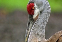 Cranes & Pelicans