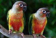 Conure Parrots / Pictures of Conures