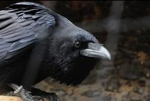 Corvids / by AnnMarie French