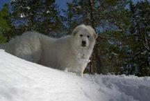 Pyrenean Mountain Dogs / Great Pyrenees / Beautiful livestock guardians