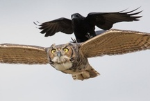 owlies and crows / by Heather Barnes