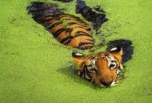 Safarious Big Cats