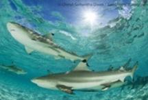 Safarious Sharks