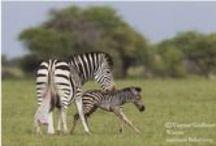 Safarious Zebras