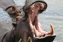 Safarious hippopotamus