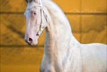 Akhal Tekes / Teke is different. It's long, it's lean and it's absolutely gorgeous.