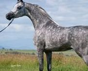 Arabian horses / Arabian horse is considered as one of the most beautiful breed and with a good reason.