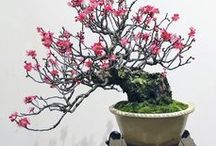Bonsai / Art imitating nature