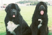 Dogs: Newfie Love
